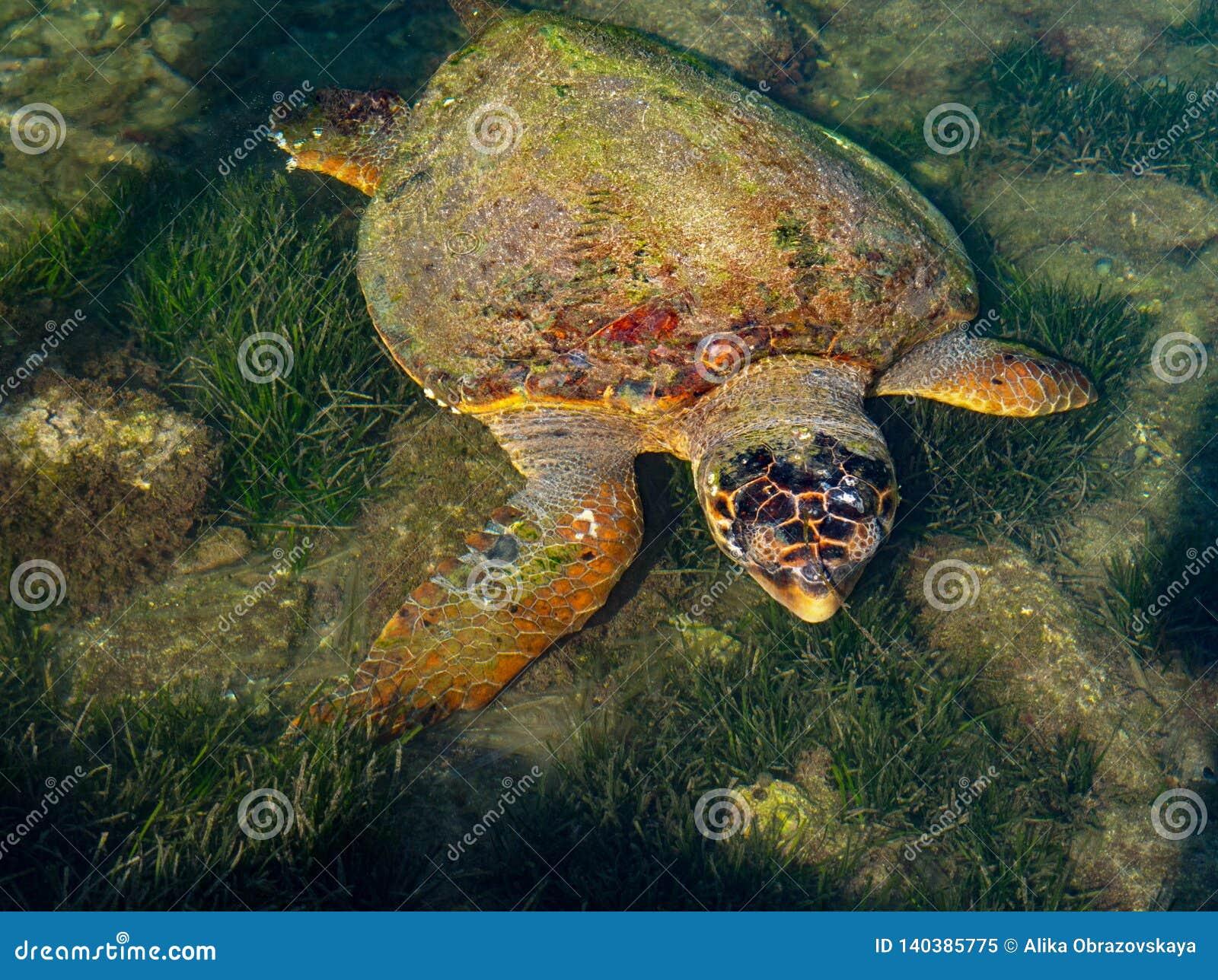 海龟在Kefalonia,希腊希腊海岛上的爱奥尼亚海