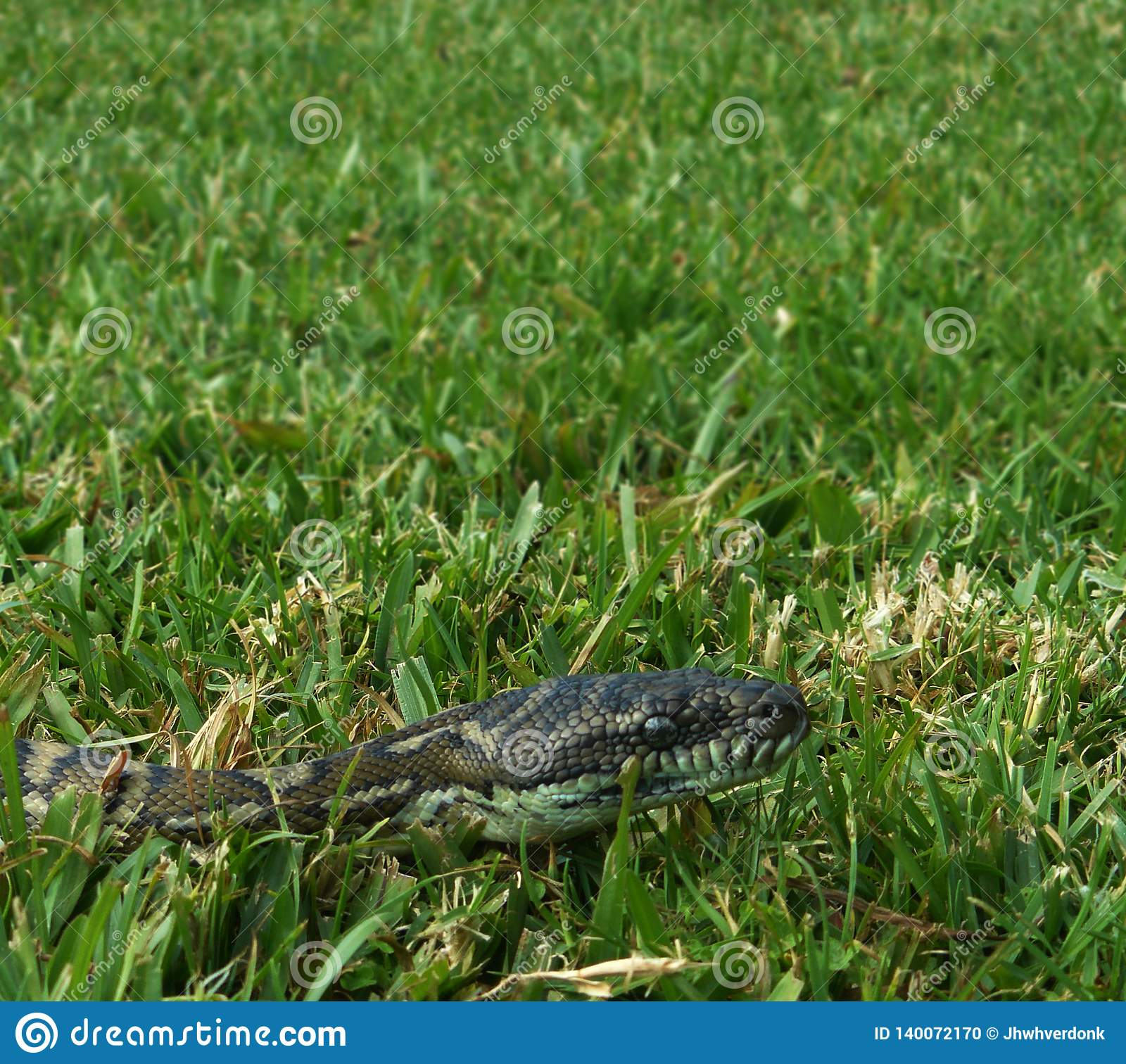 滑行通过草的金刚石Python在澳大利亚的后院