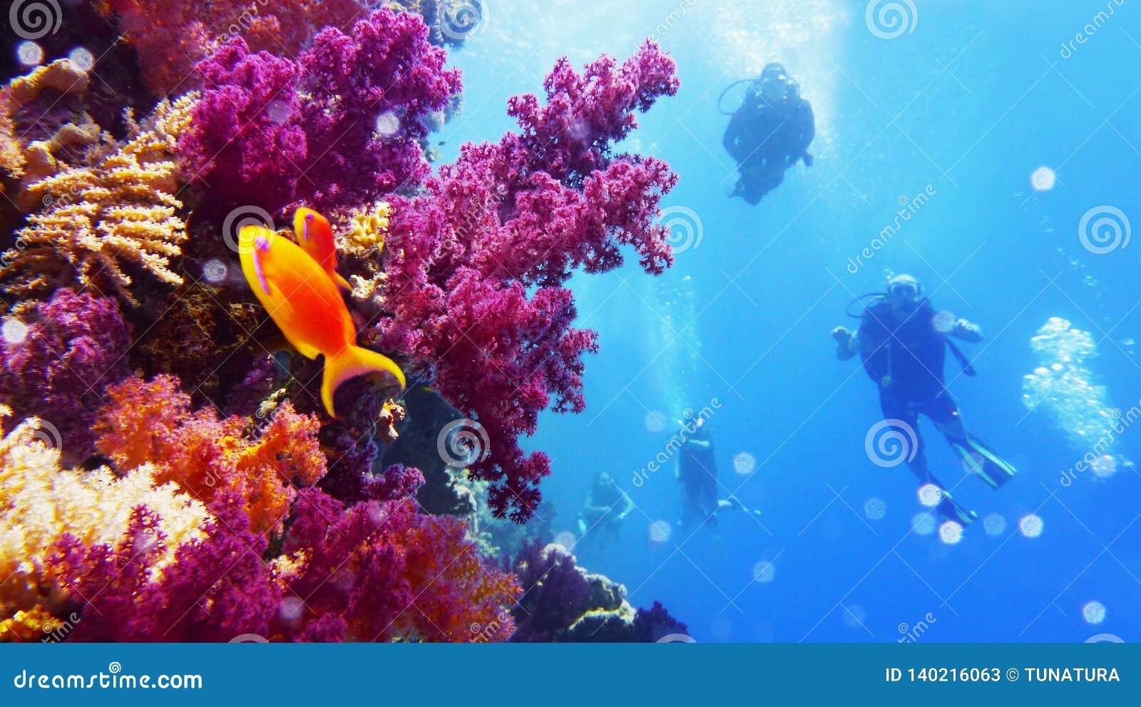 有伸手可及的距离紫色软的珊瑚成长的水下的墙壁,背景的轻潜水员