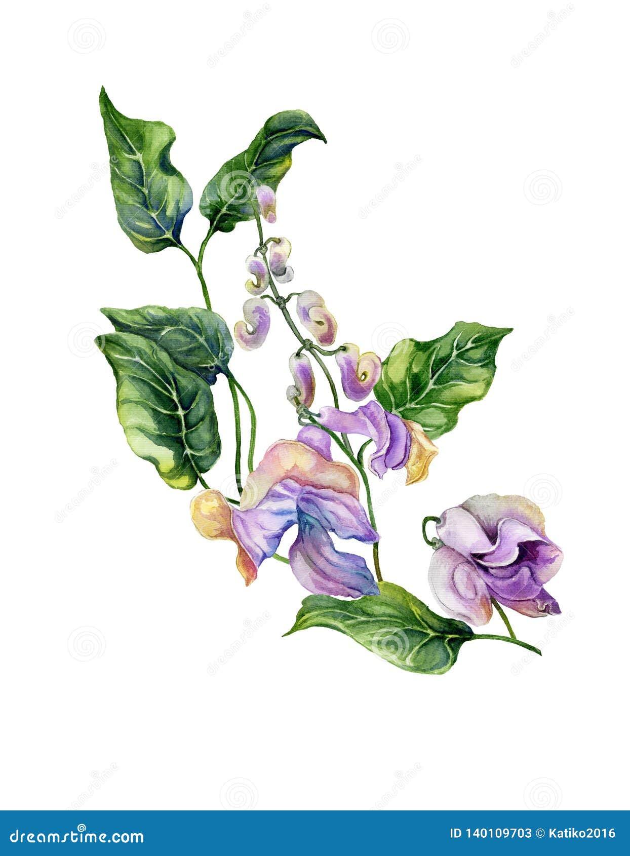 有purpe花和绿色叶子的美丽的蜗牛藤Cochliasanthus caracalla枝杈 背景查出的白色 水彩