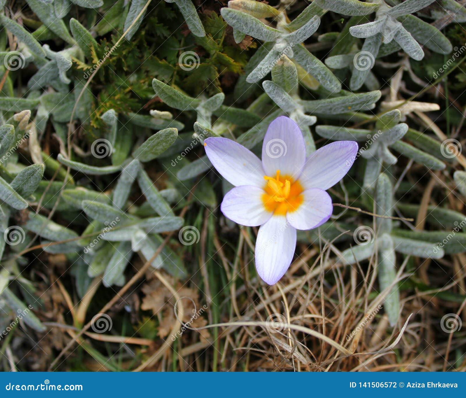 早期的春天花紫色番红花,青紫罗兰色山花