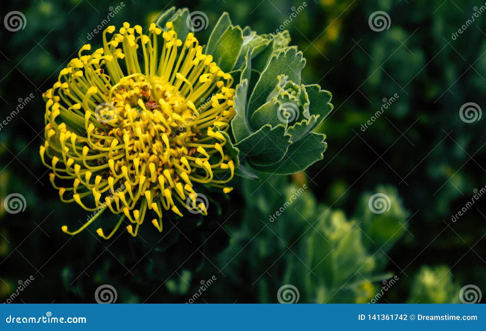 普罗梯亚木花有绿色背景