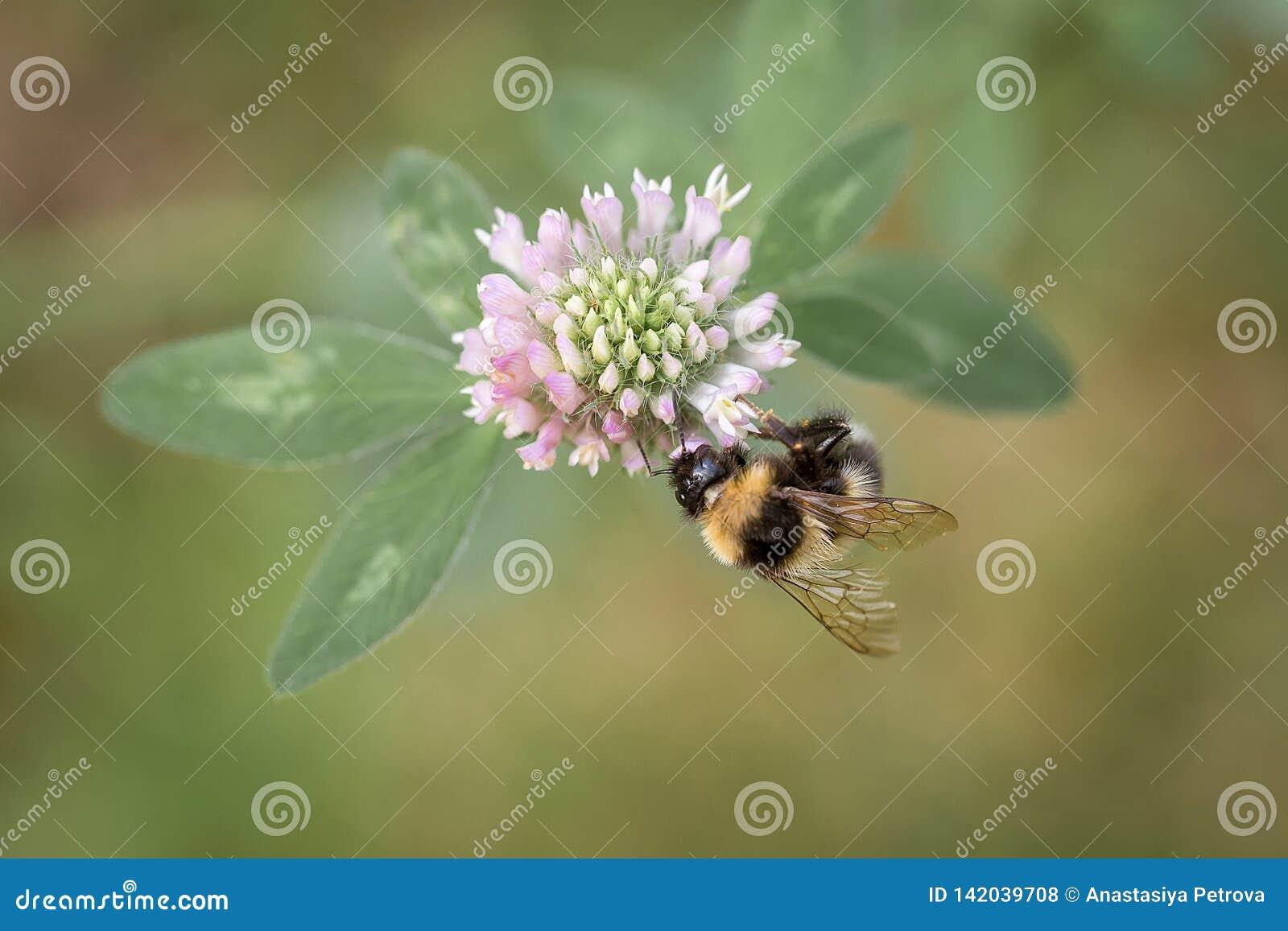 收集花蜜的土蜂