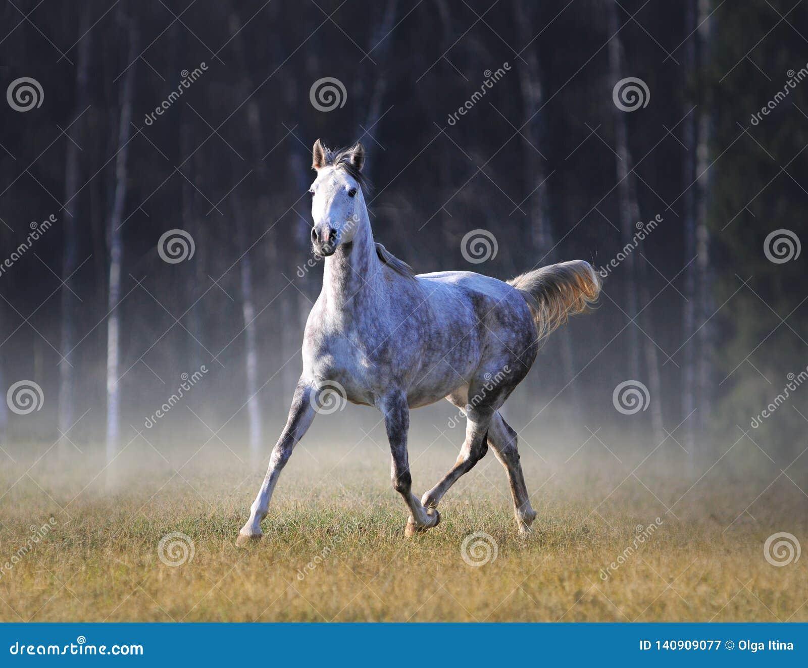 灰色阿拉伯马在冷淡的秋天上午任意跑