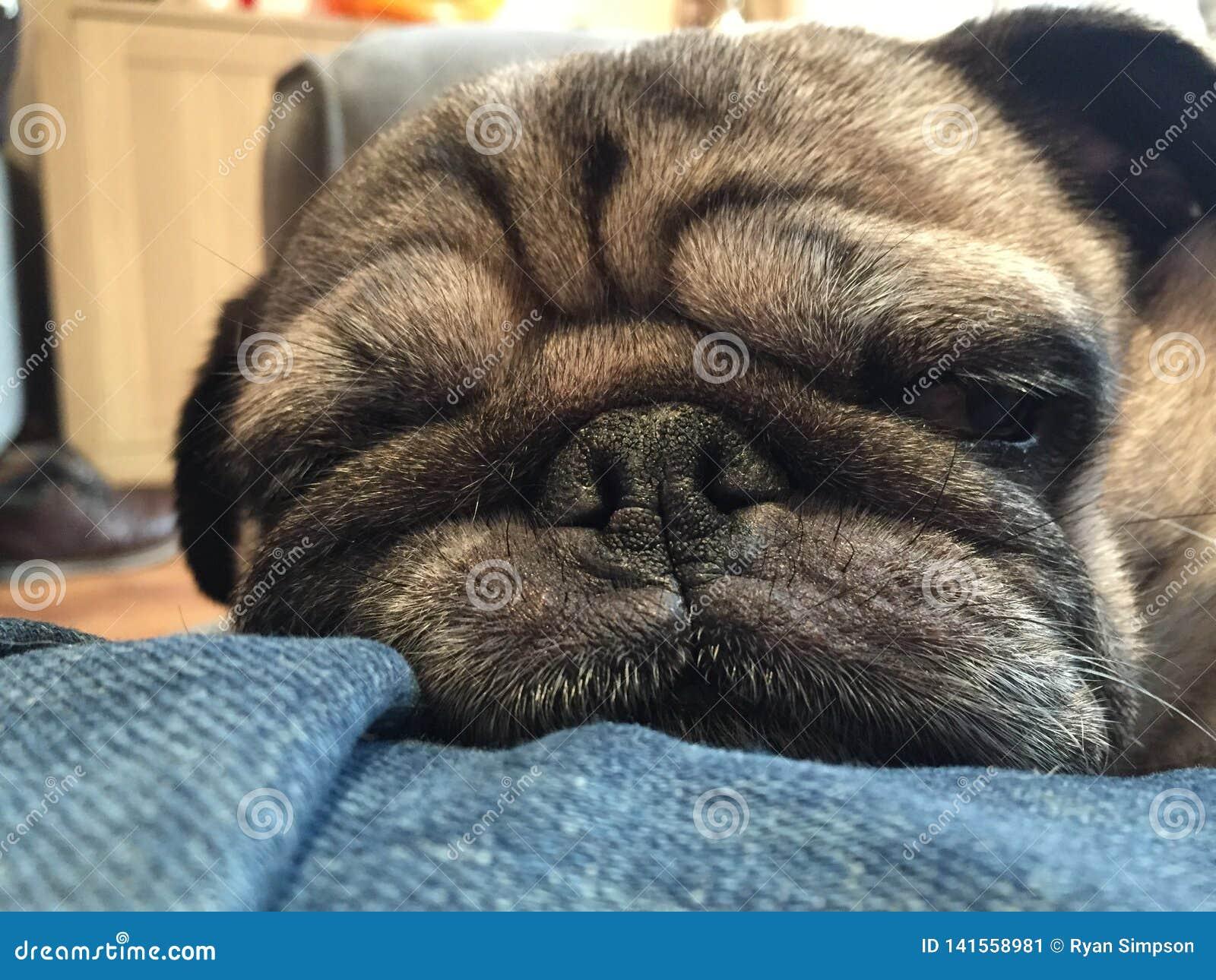 睡觉哈巴狗的狗紧密