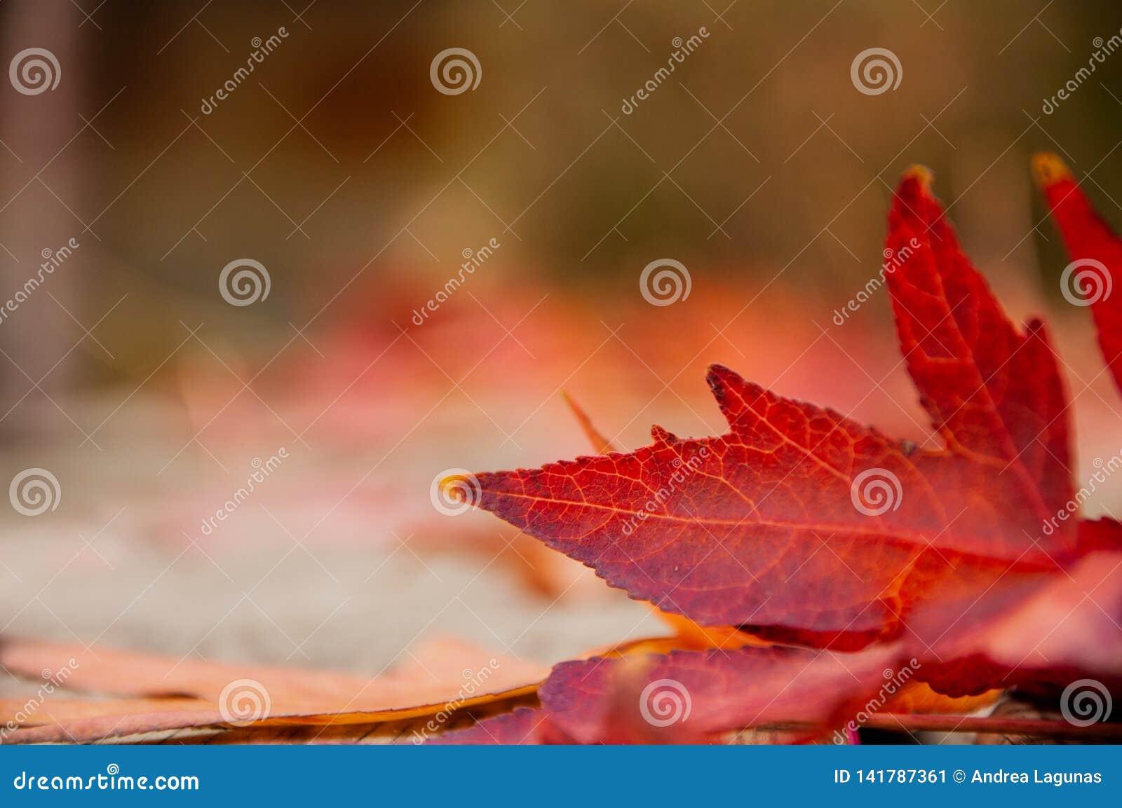 秋天红色叶子特写镜头在公园
