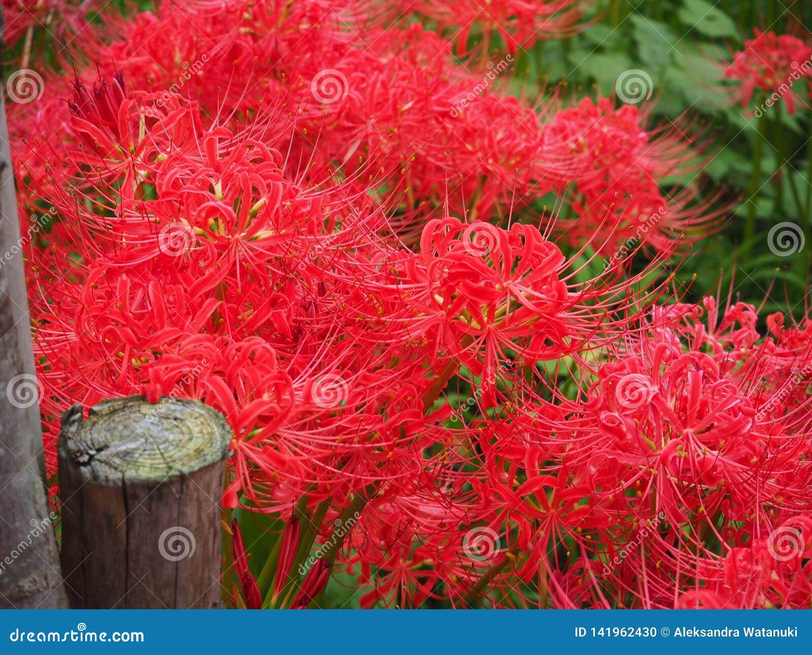 红蜘蛛百合在日本