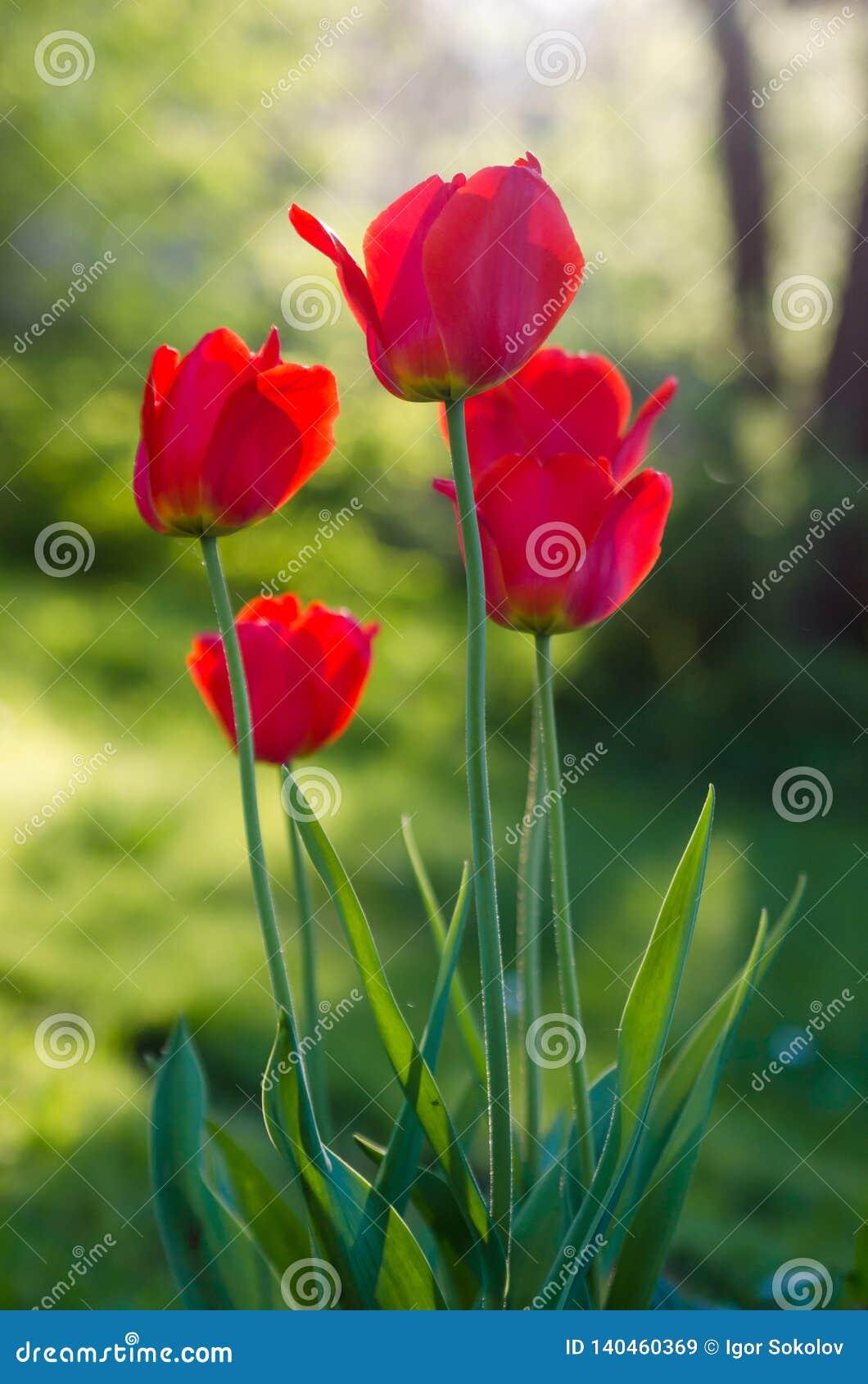 红色郁金香在庭院里,背后照明