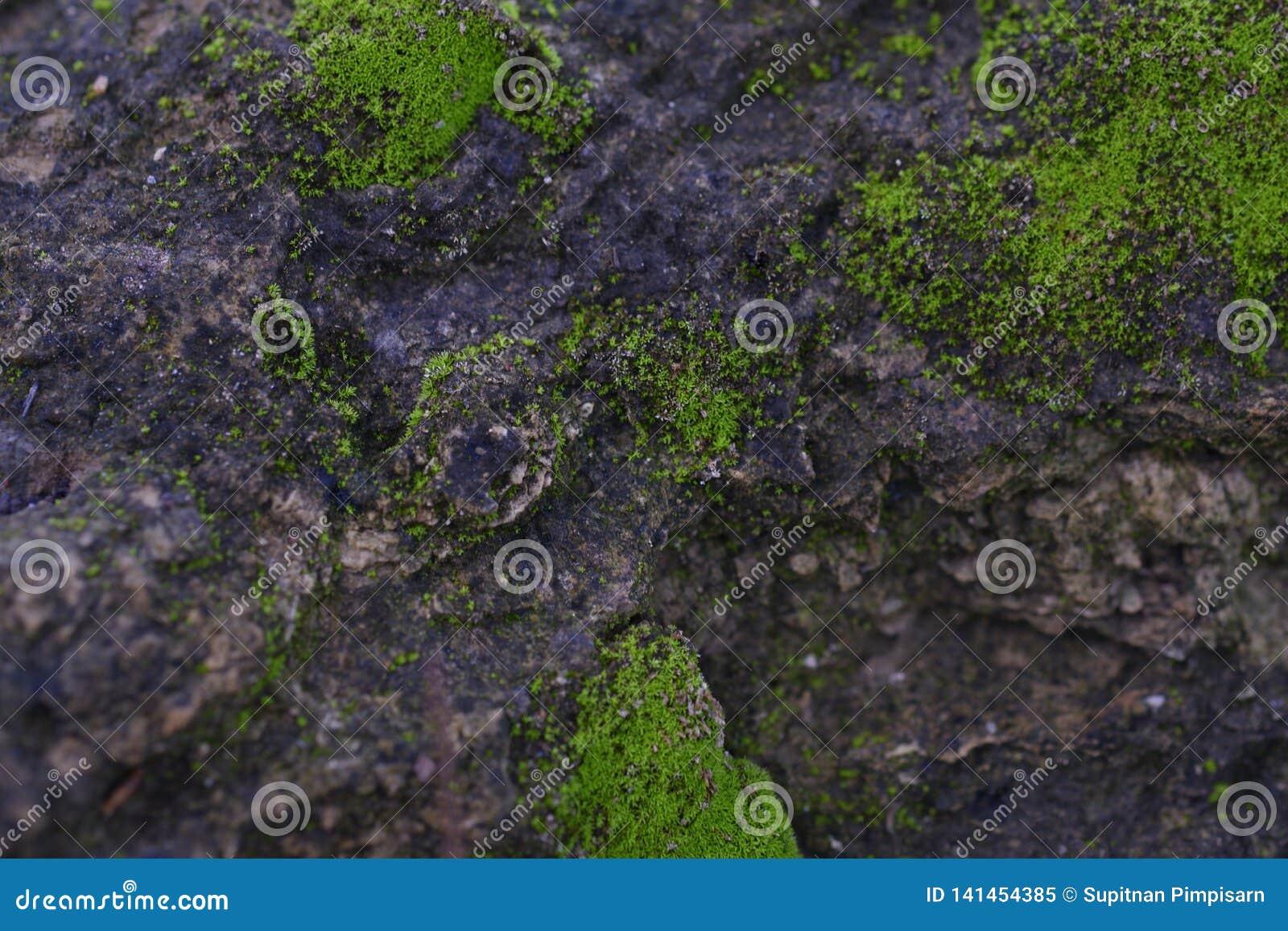 绿色青苔纹理在岩石表面背景影像增长