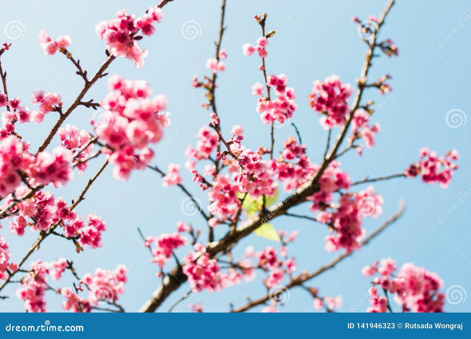 美丽的桃红色樱花在庭院里