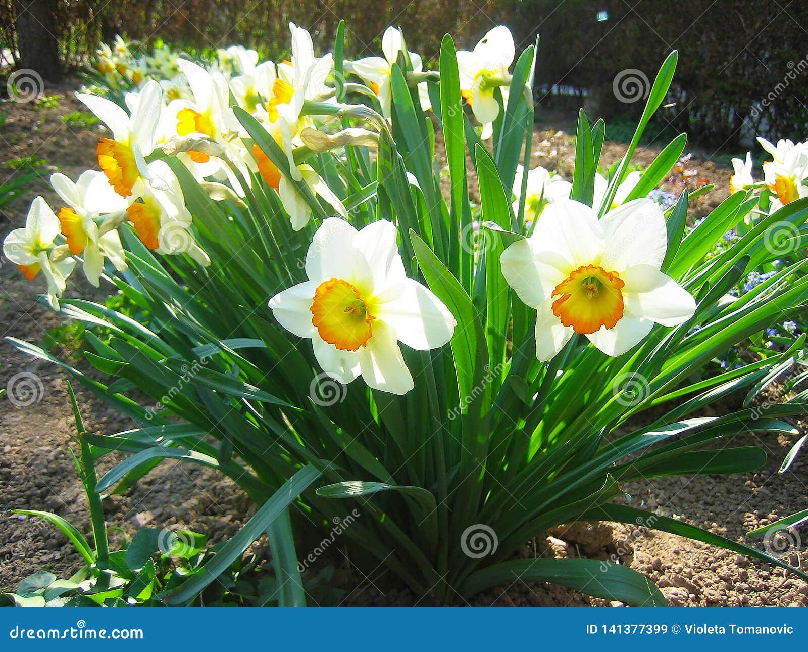 美丽的水仙,黄水仙