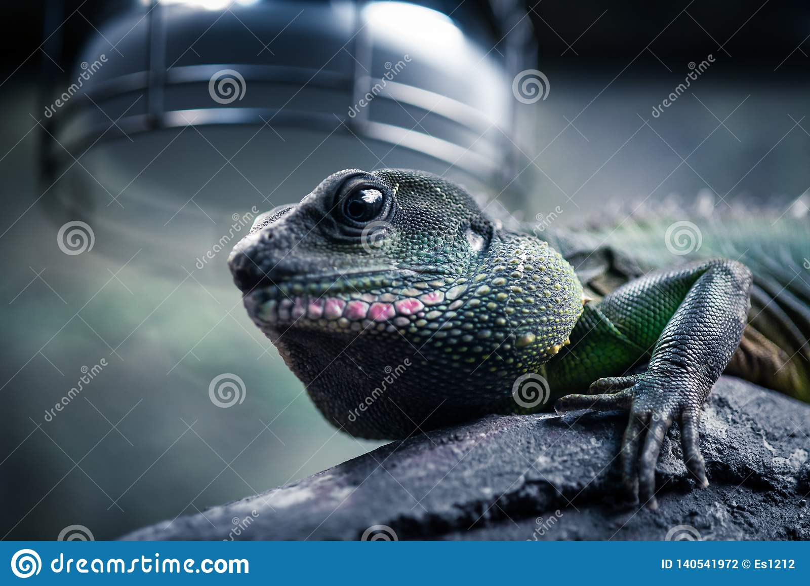 美丽的蜥蜴在它的自然环境