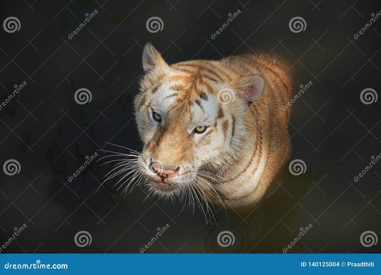 看您的白色老虎