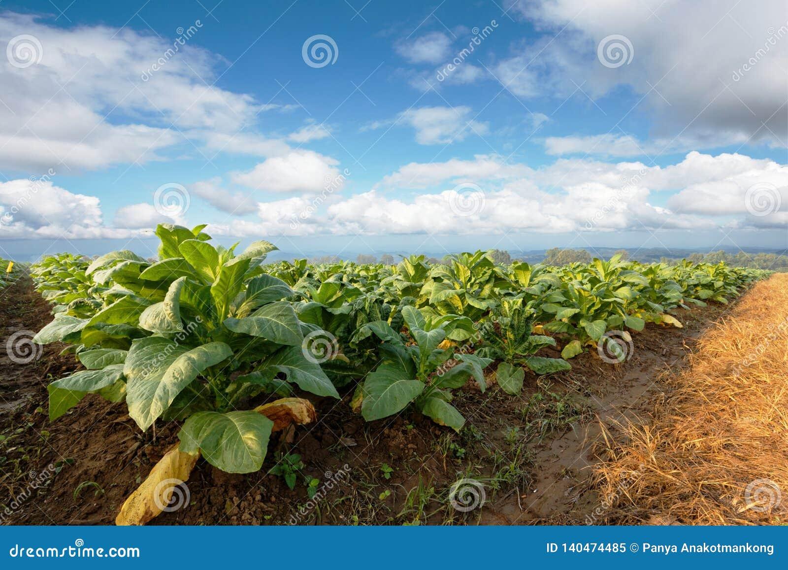 烟草种植园在农田里和生长做的雪茄和香烟的