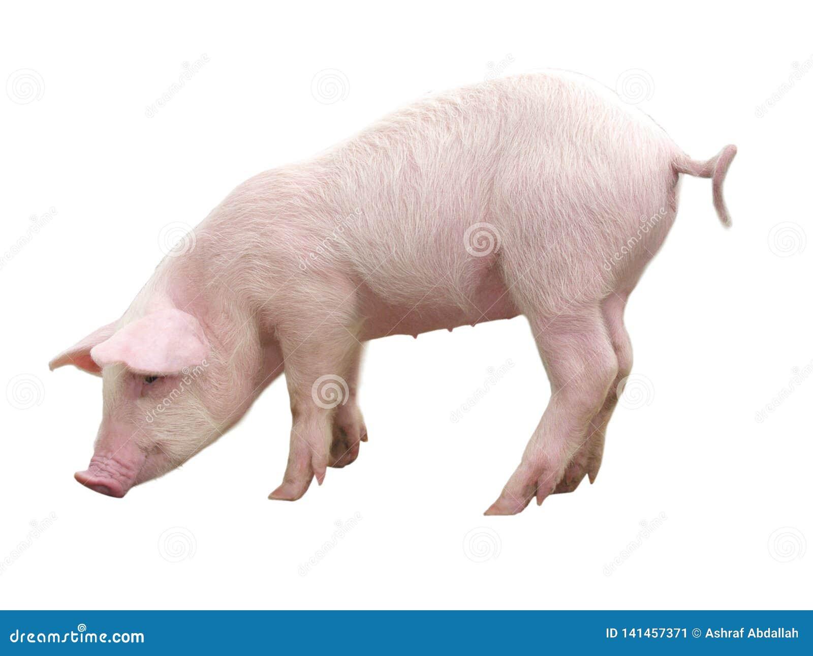 牲口-在一白色背景影像代表的猪