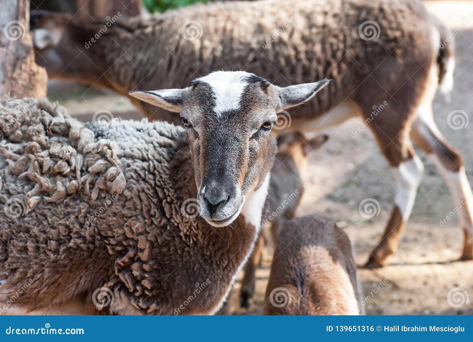 牺牲回教的假日宴餐的绵羊kurban