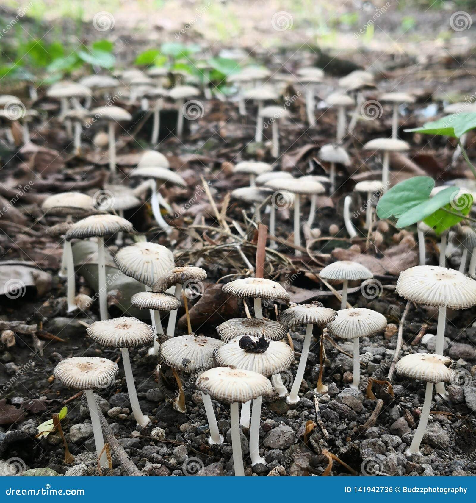 狂放的蘑菇在印度尼西亚调遣采取与宏观射击