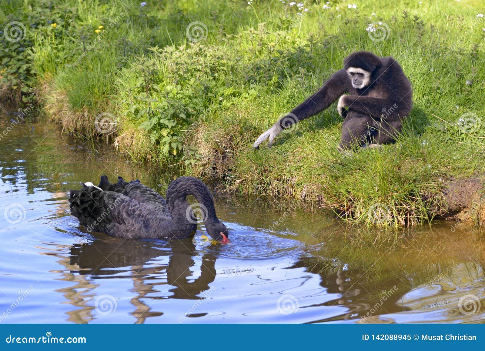 白被递的长臂猿和黑天鹅