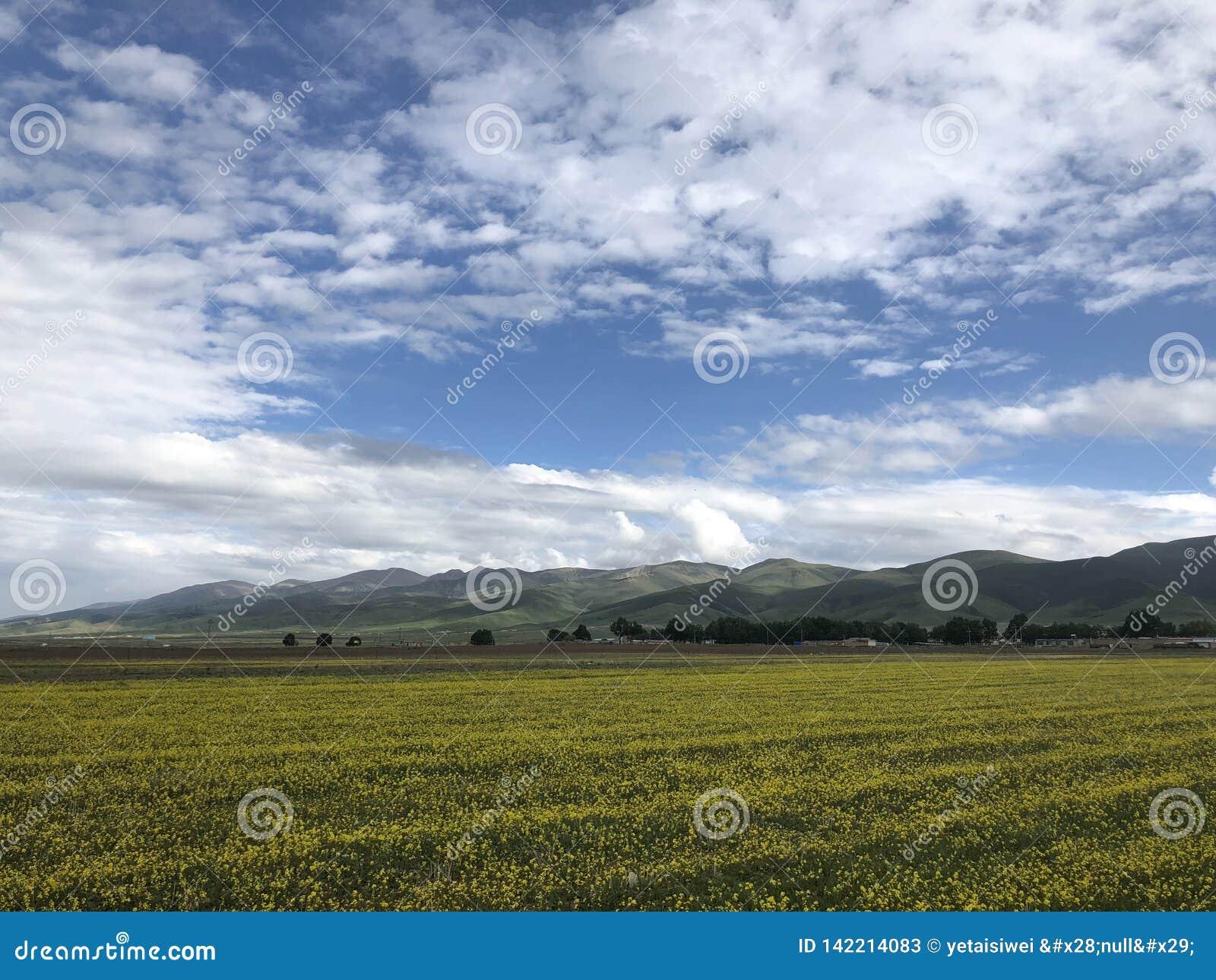 由Qianghai湖的进展的油菜籽领域