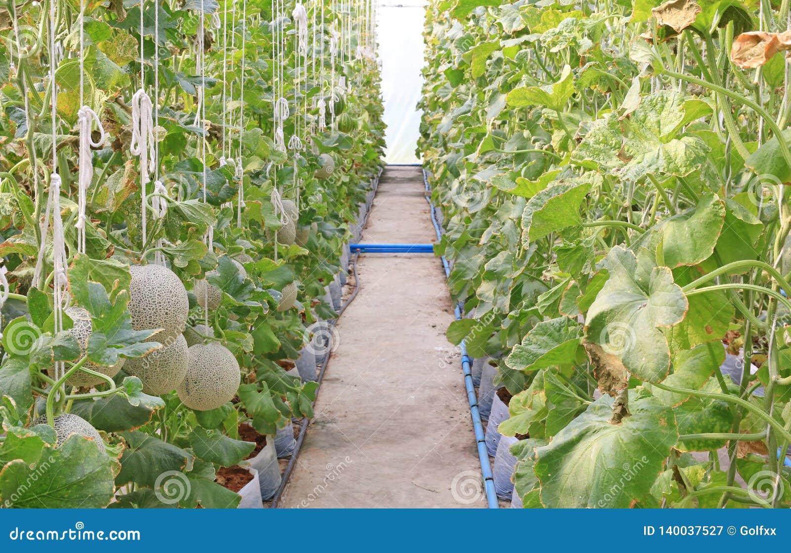 生长自温室的日本瓜或绿色瓜或者甜瓜瓜植物年轻新芽支持由串瓜网