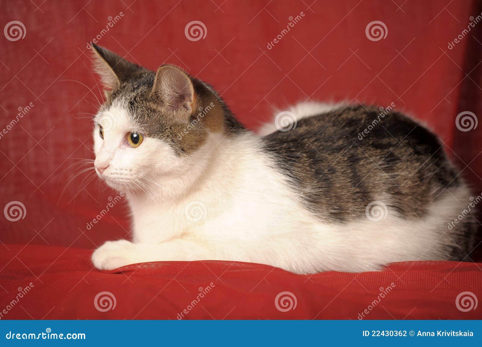 猫灰色白色