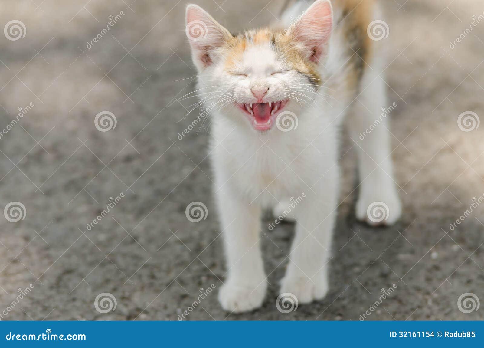 猫叫逗人喜爱的猫 库存图片
