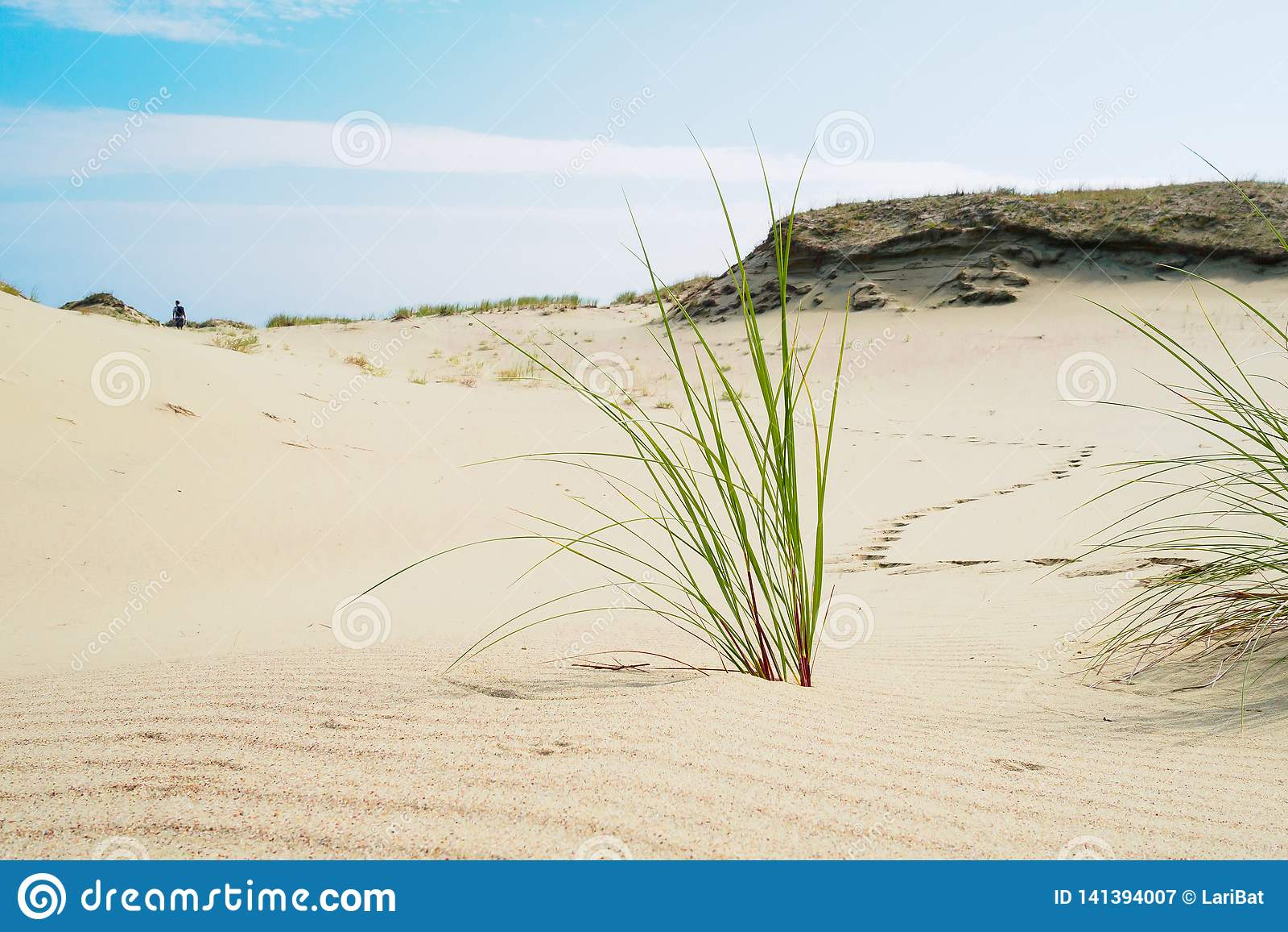 草在库尔斯沙嘴的沙子增长 离开在沙丘的一个人的足迹
