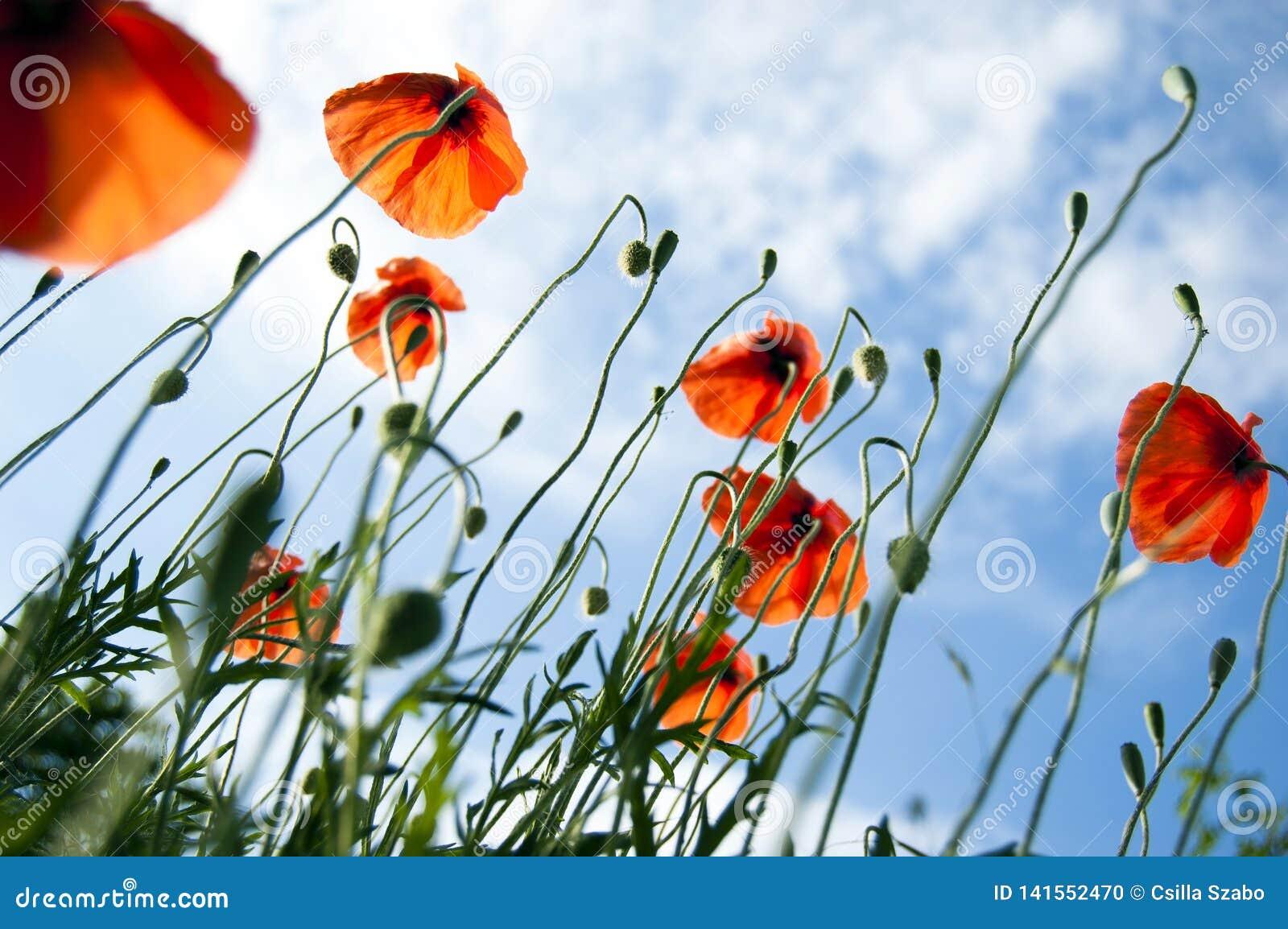 草甸秀丽有狂放的红色鸦片的和天空蔚蓝、草叶,光束和反对的光,在看法下,关闭