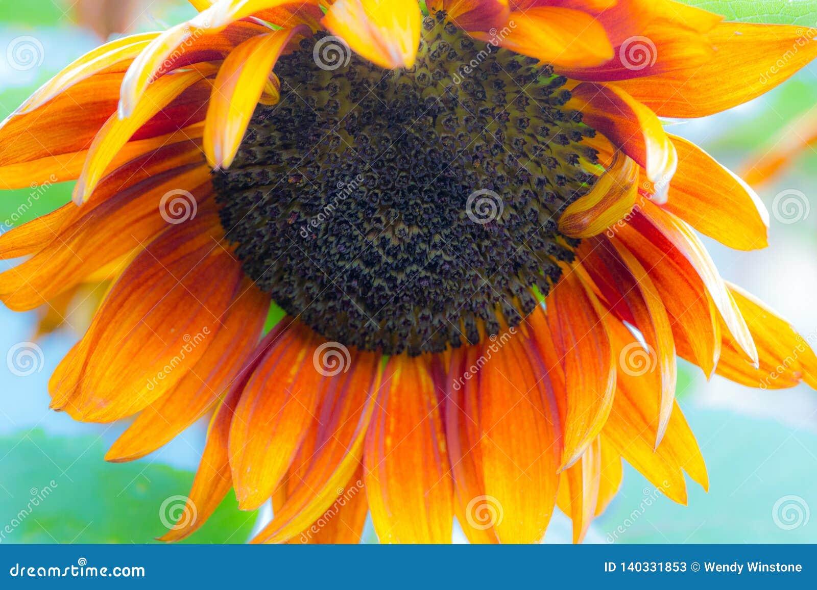 被弄脏的橙色普拉多向日葵