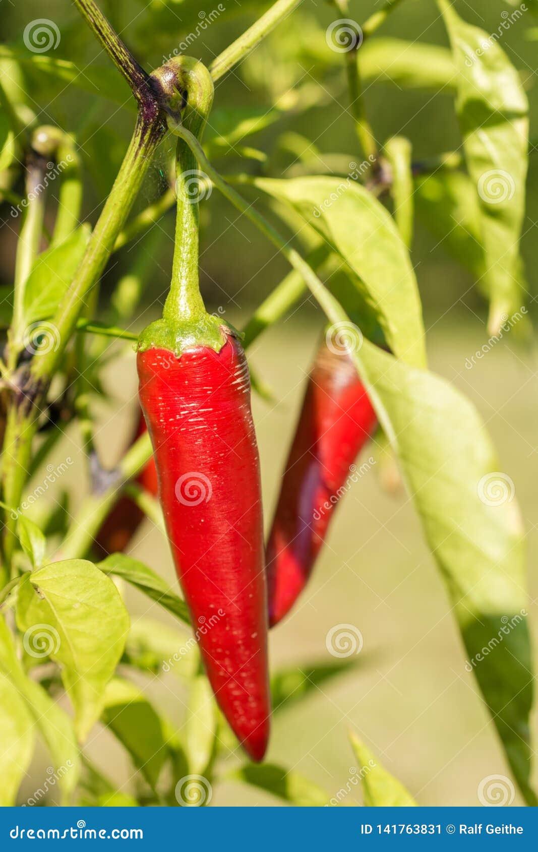 辣椒增长成熟在他们自己的庭院里