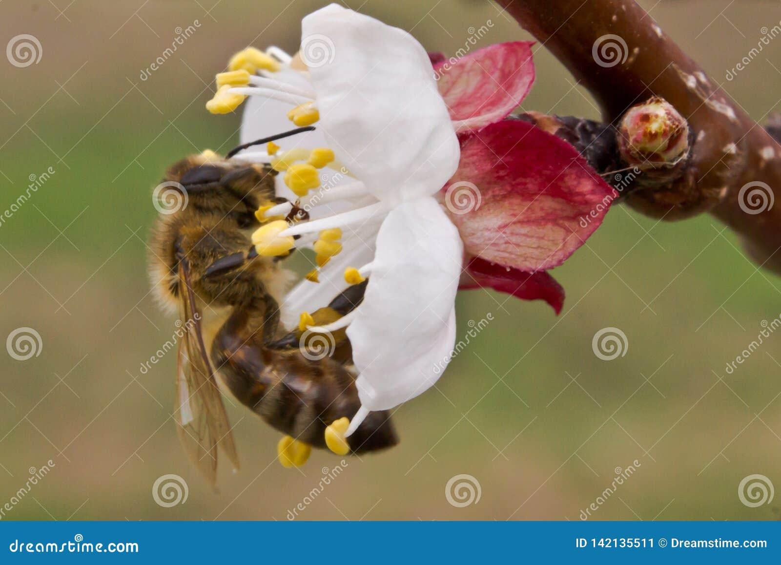 蜂在春天授粉杏子开花
