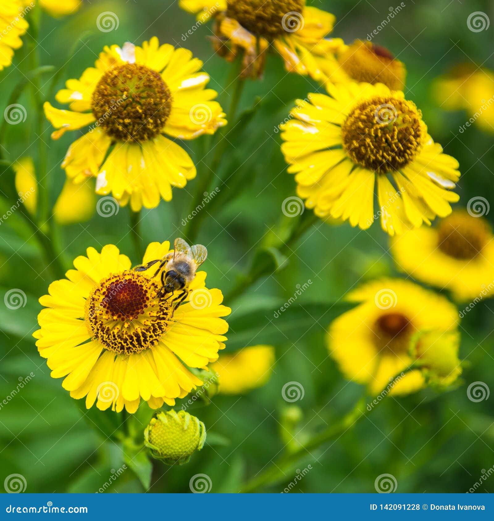 蜂蜜蜂坐黄色花在夏日