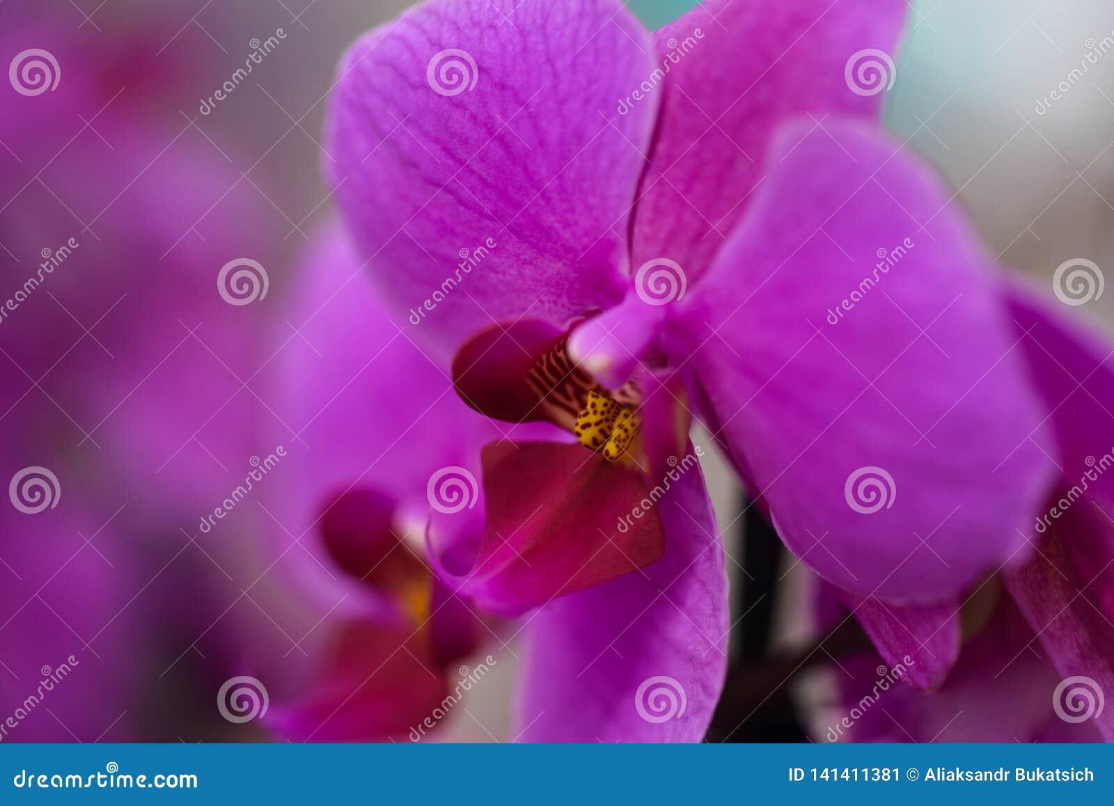 花紫色兰花,特写镜头,背景