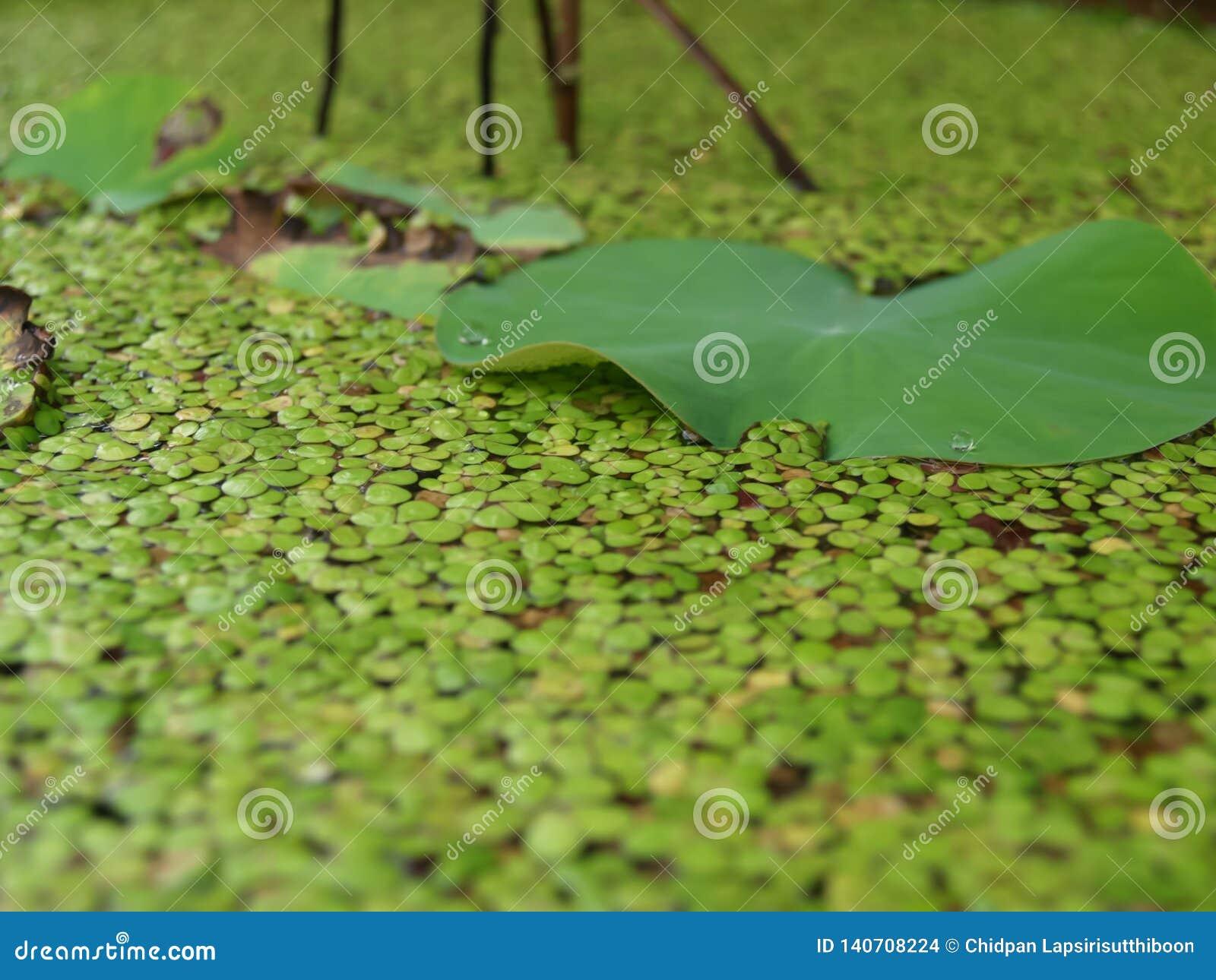 莲花的叶子由绿色Duckweeds围拢 对自然背景