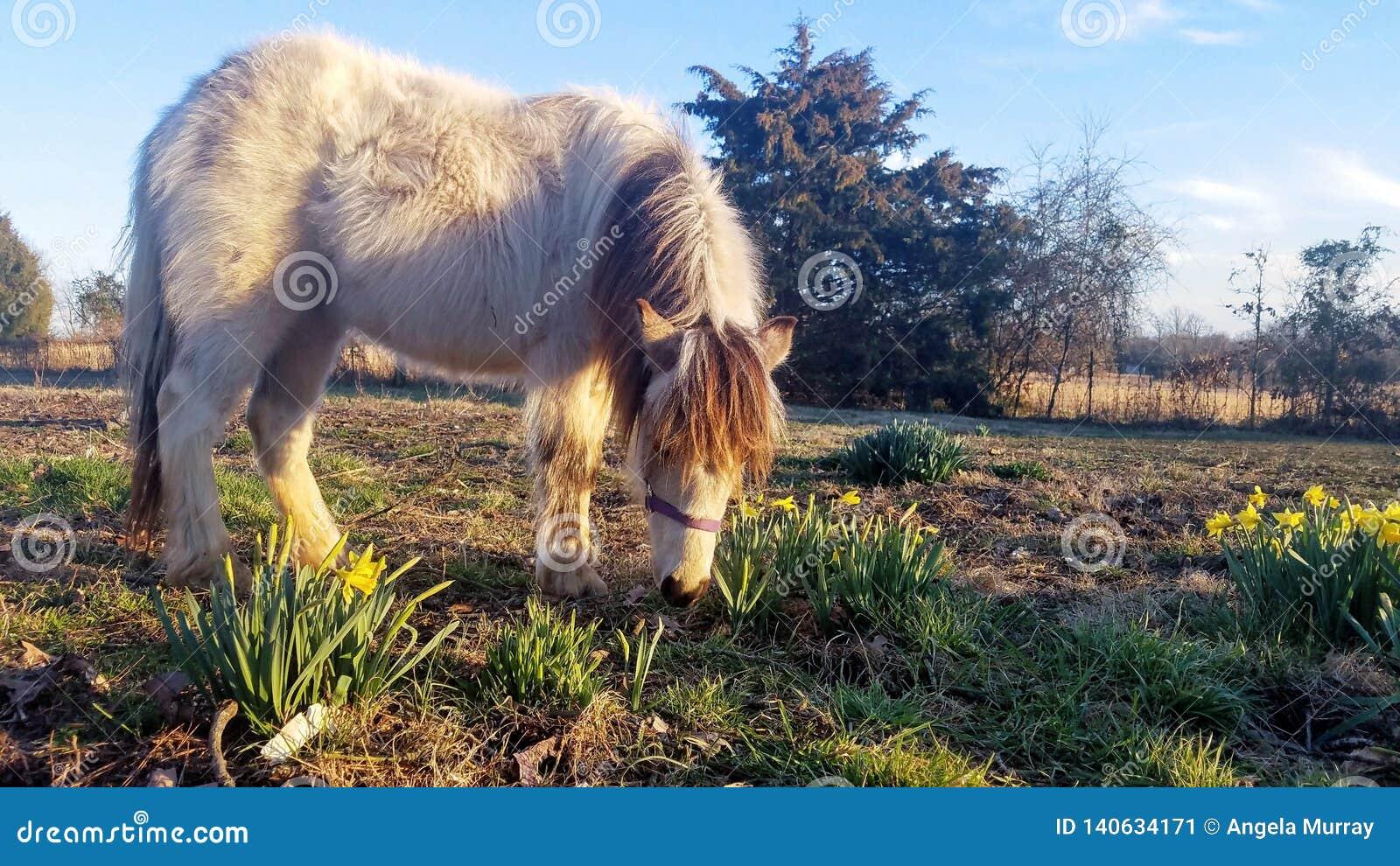 舍特兰群岛小马&黄水仙