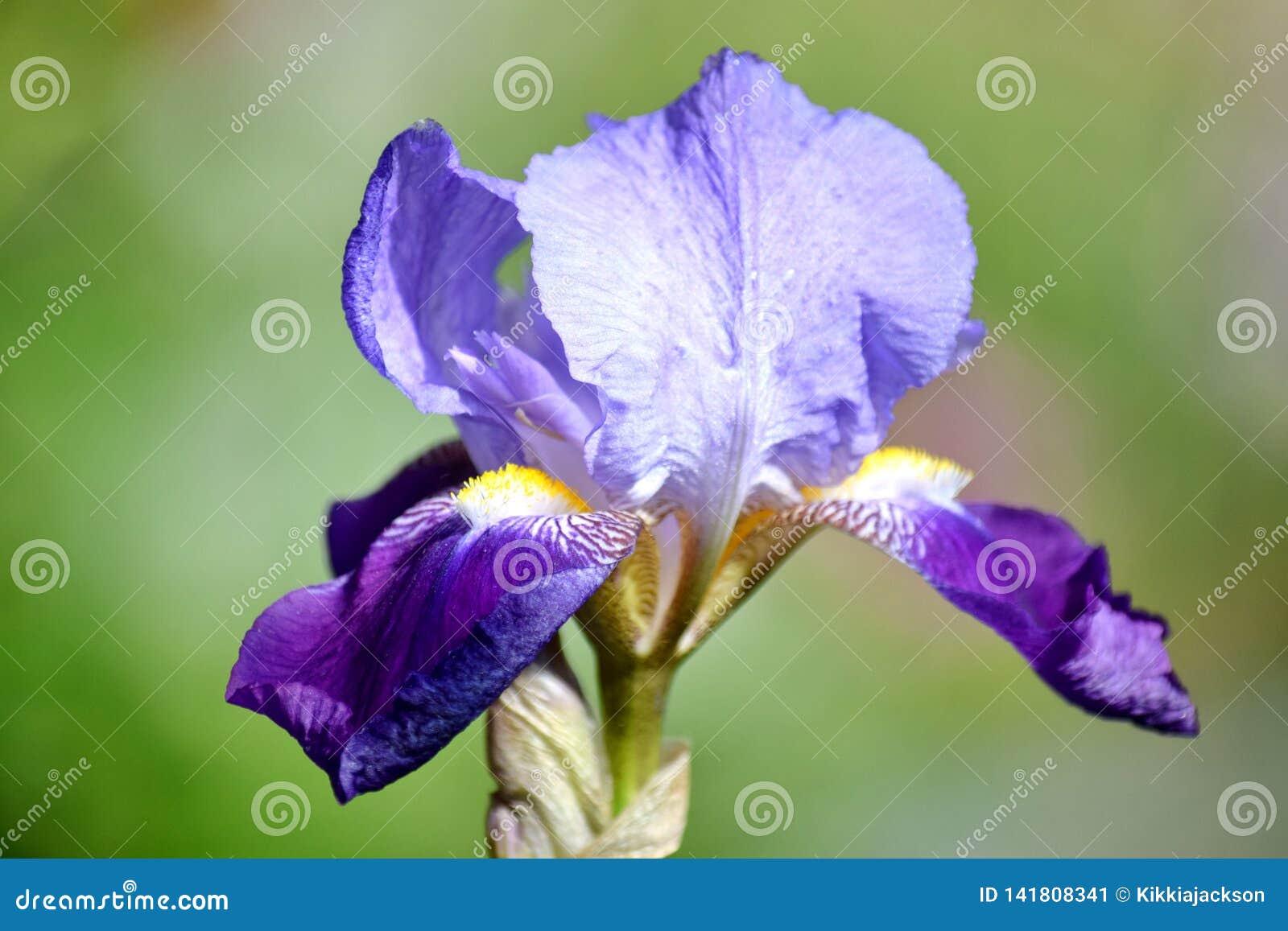 虹膜紫罗兰开花储蓄照片细节特写镜头
