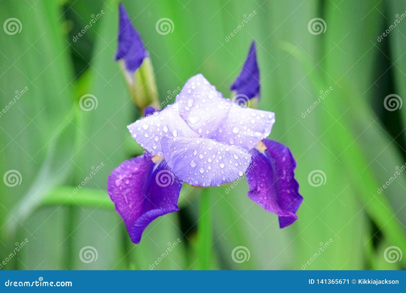 虹膜紫罗兰色花家庭菜园股票Pfoto细节特写镜头