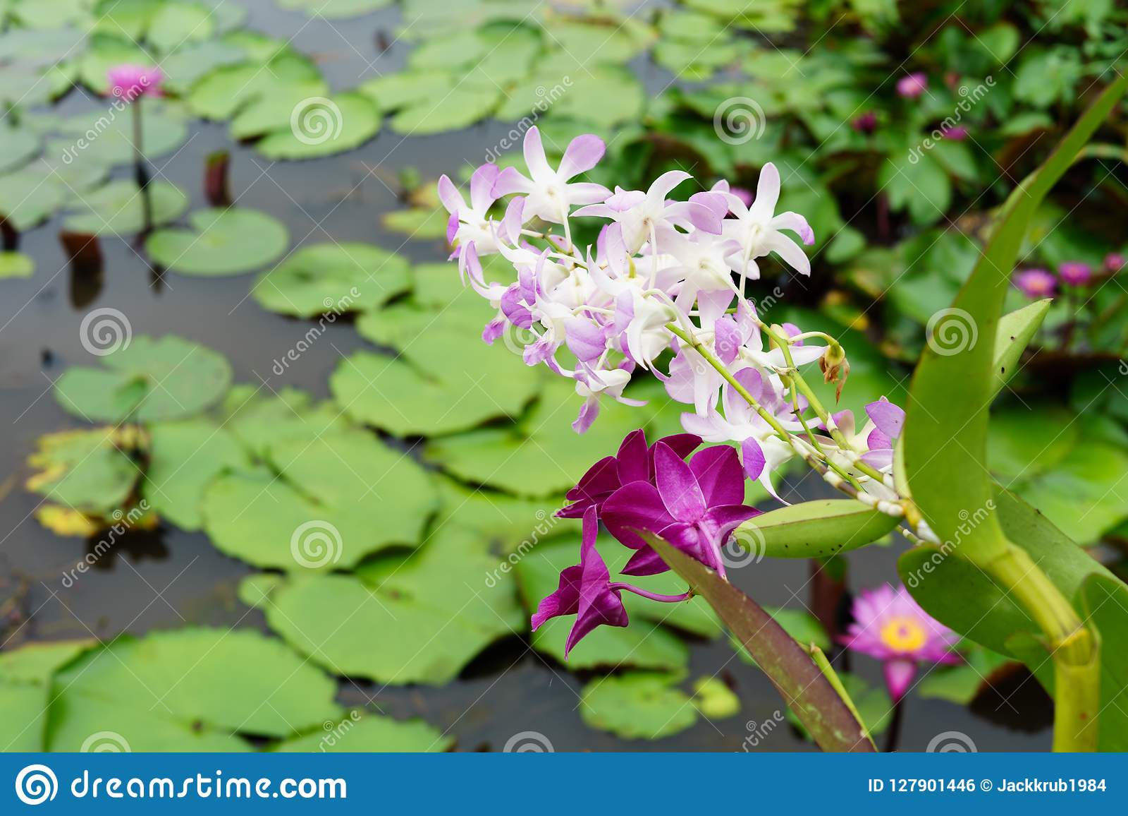 È bella orchidea di rosa del fiore a Lotus Floating Maket rossa B