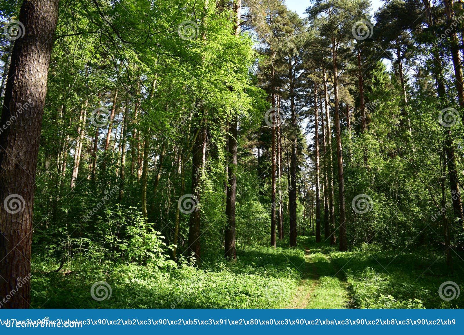 È piacevole esaminare il pino ed attillare i tronchi snelli e dorati, inali l aria fragrante pulita, odorare della resina