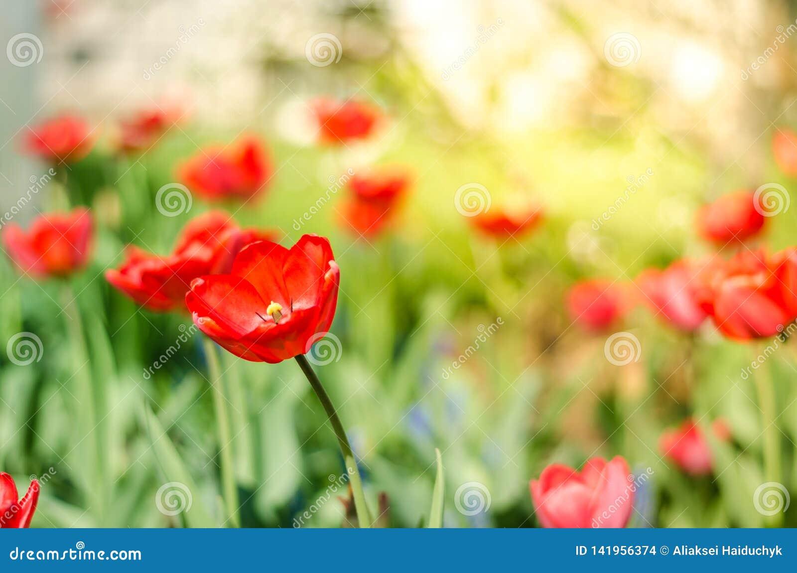领域花郁金香 与开花的红色郁金香的美好的自然场面在太阳火光/春天花 美丽的草甸 春天