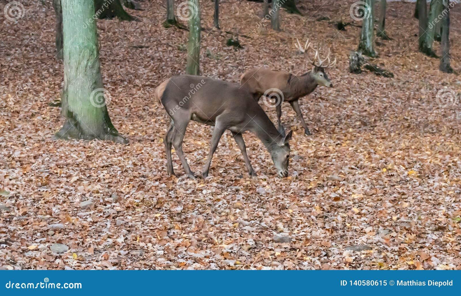 鹿在森林里