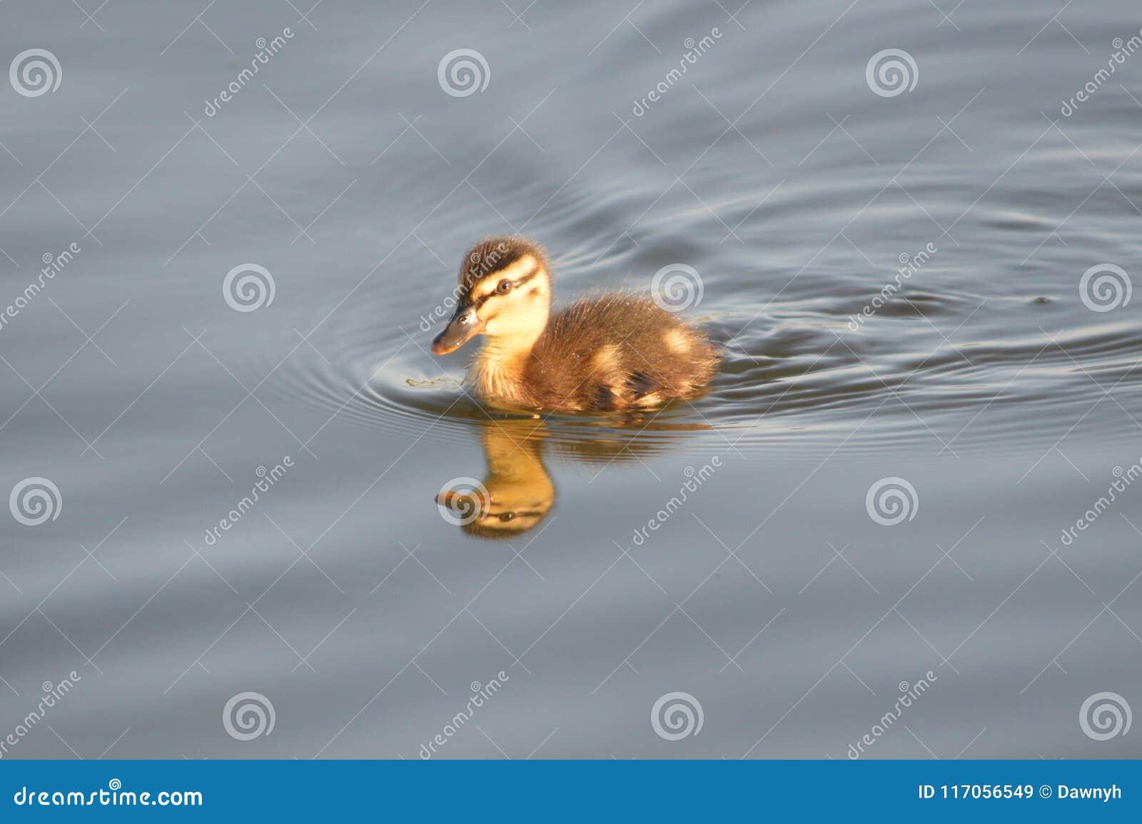 Één eendje die op een pond zwemmen