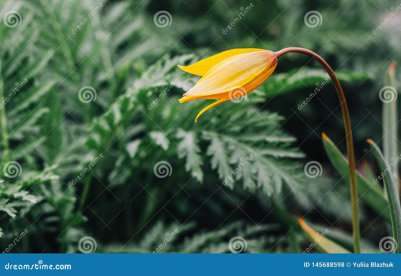 Één gele wilde tulp tegen levendige groene achtergrond