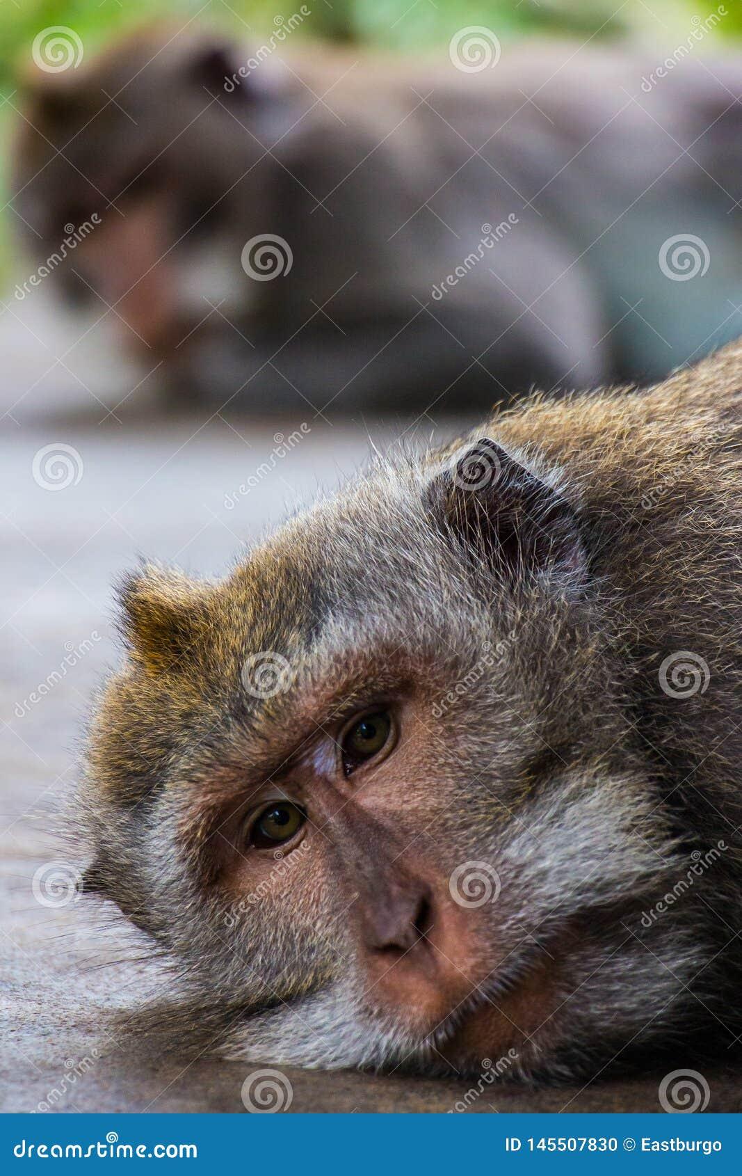 Één het pruilen aap geeft een andere de stille behandeling