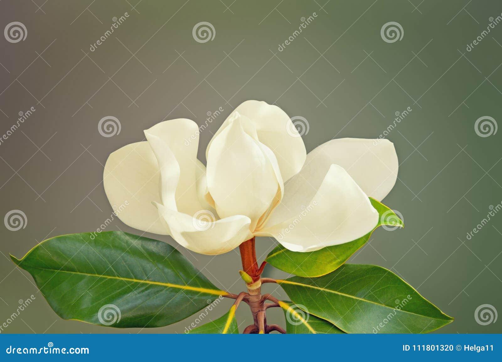Één mooie grandiflora bloem van Magnolia Vrije ruimte voor tekst