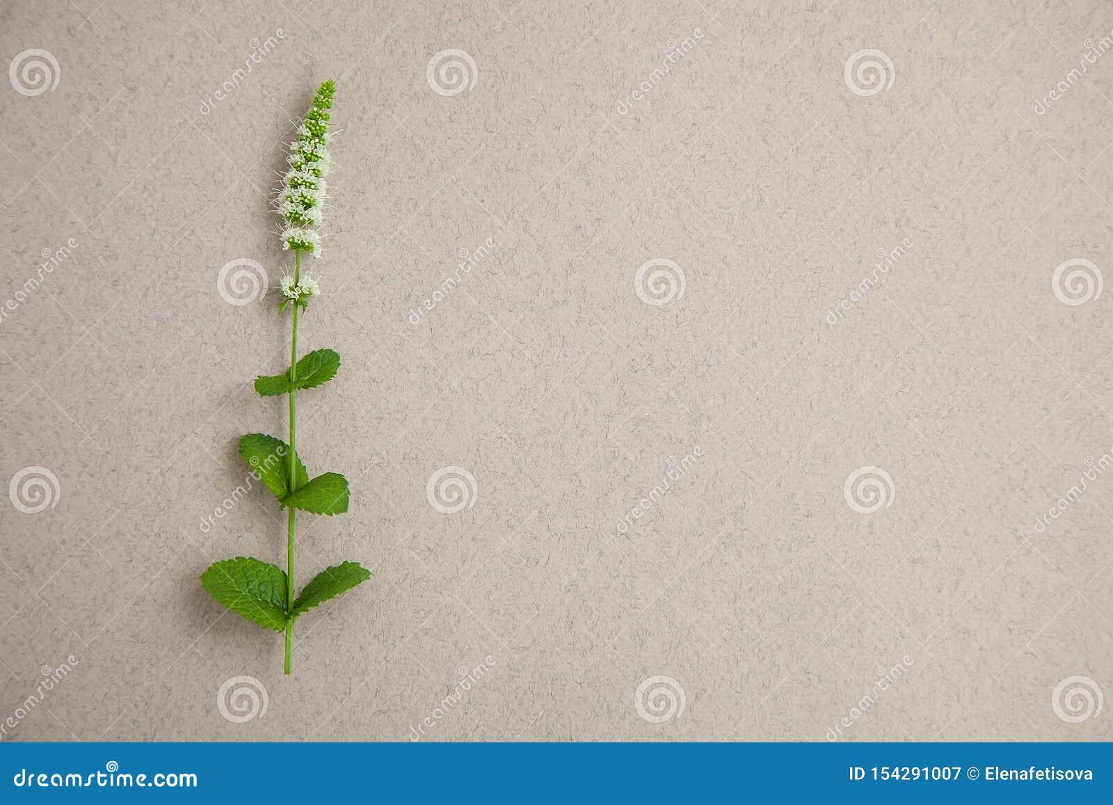 Één muntgras met bloem op grijze achtergrond Banner van verse munt en exemplaarruimte