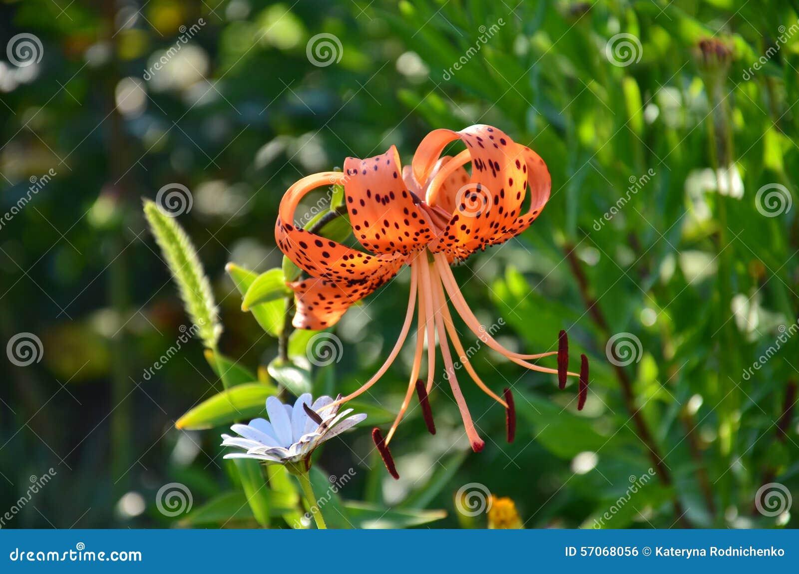 Één oranje kleuren koninklijke lelie