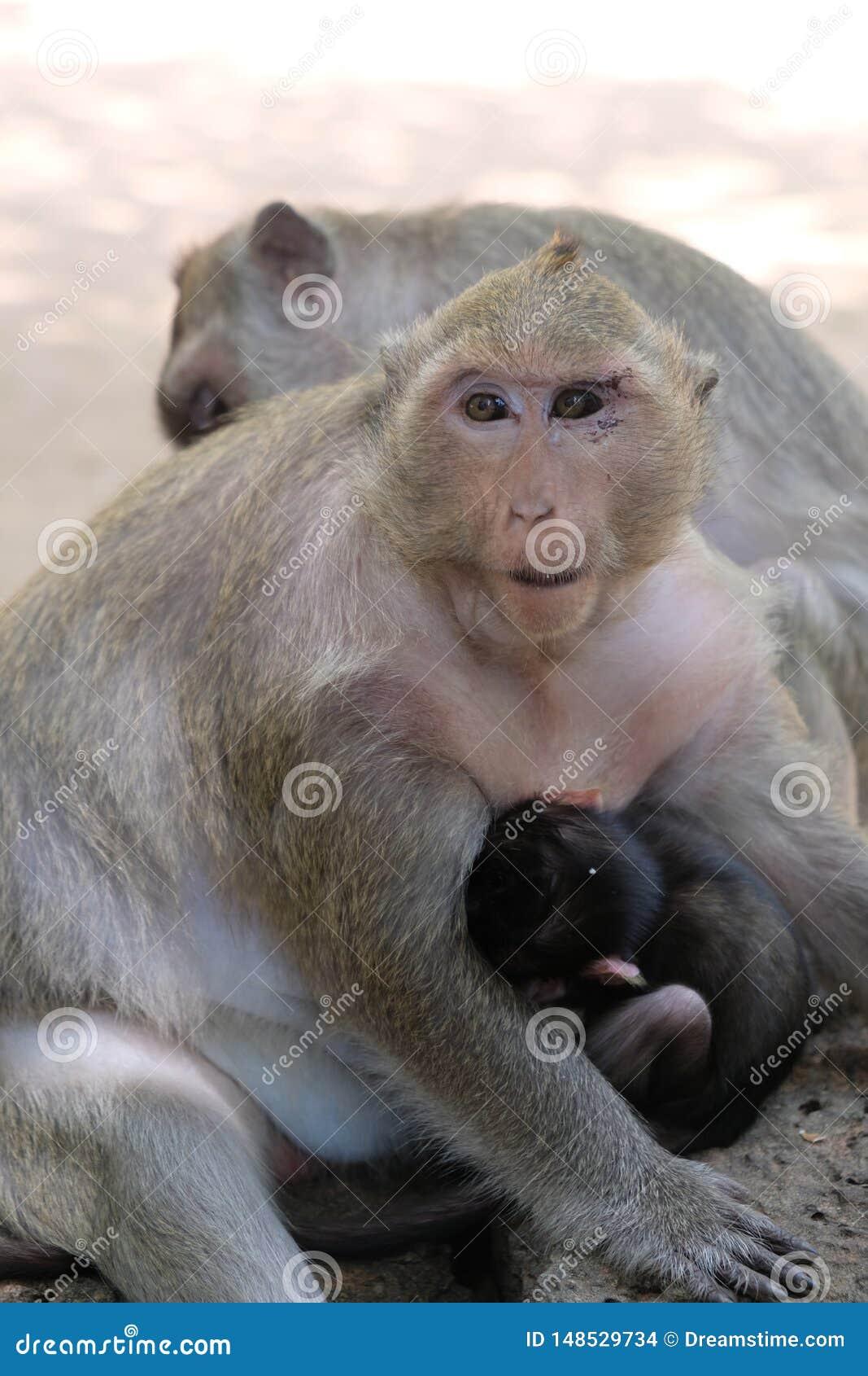 Één voer van de babyaap door zijn moeder in Angkor, Kambodja