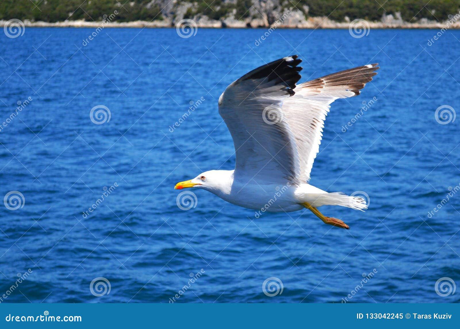 Één zeemeeuw met wijd uitgespreide vleugels vliegt laag over water