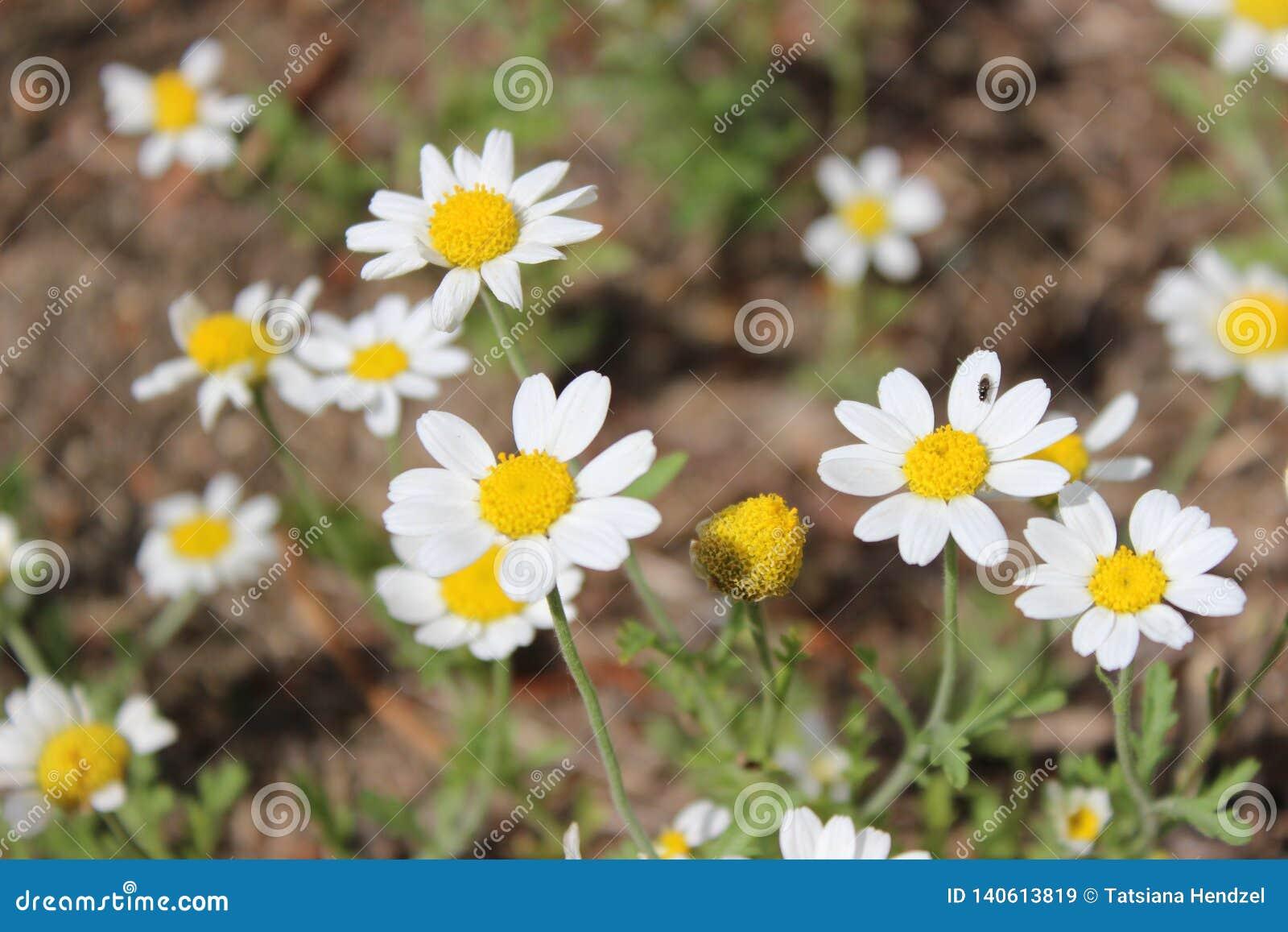 野生领域雏菊在草甸 背景花卉自然